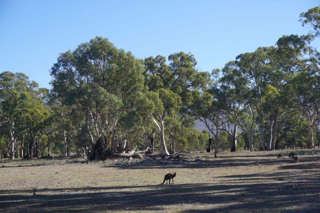 młody kangur pośrodku eukaliptusowego buszu w południowej Australii. Wilpena Pound, park narodowy Ikara-Flinders Ranges, Outback.