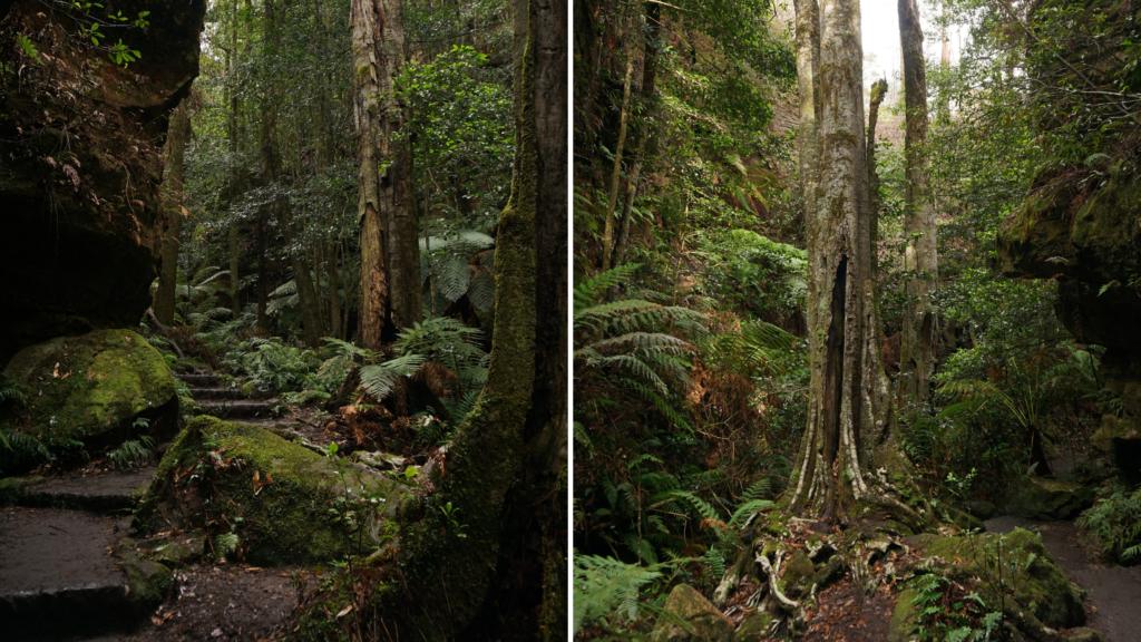 temperate rainforest vegetation at Gran Canyon Walking Track in Blue Mountains, Australia